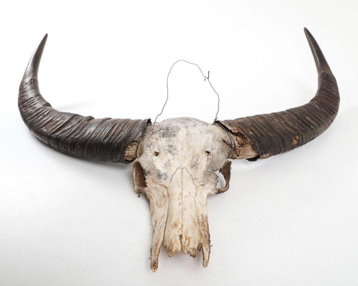 Horns/ Scull